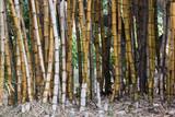 Rząd bambusów