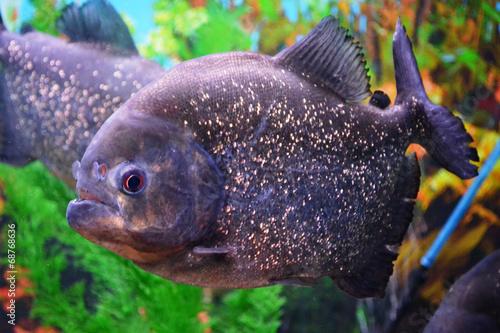 Valokuva  Piranha.Serrasalminae