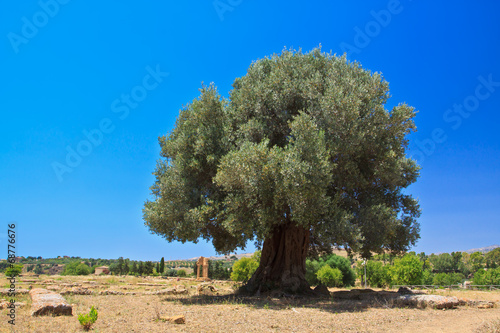 Tuinposter Olijfboom Olive tree in Agrigento - temples valley, Agrigento, Italy