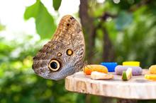 Owl Butterfly (Caligo Memnon) ...