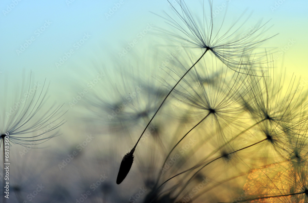 Fototapeta Golden sunset and dandelion, meditative zen background
