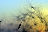 Fototapeta Puff-ball - Golden sunset and dandelion, meditative zen background