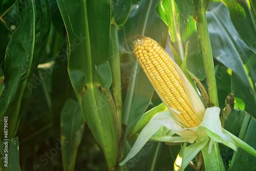 Fotografía  Corn Maize Ear on stalk in field