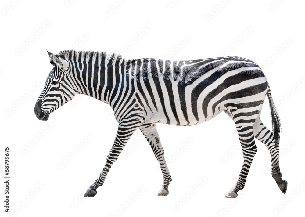 Fototapety, obrazy: Zebra isolated on white