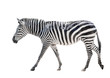 Zebra isolated on white