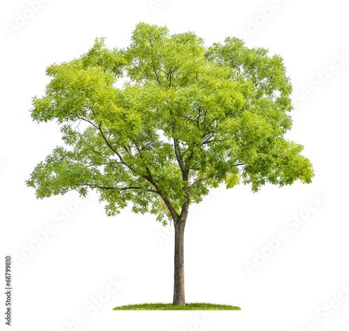 Fotografia  freigestellter japanischer Schnurbaum vor weißem Hintergrund
