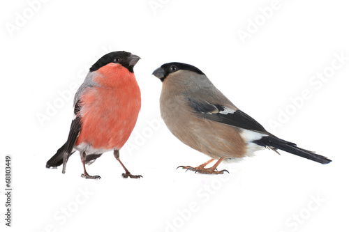 female bullfinch Wallpaper Mural
