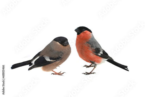 Fotografie, Obraz female bullfinch