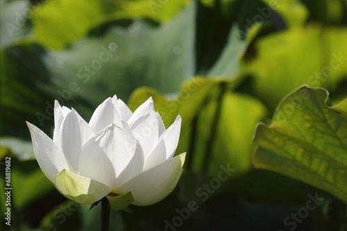 Garden Poster Lotus flower 白い蓮の花
