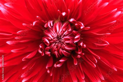 Poster de jardin Dahlia Close-up red dahlia in bloom