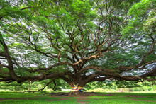 The Largest Rain Tree In Thailand