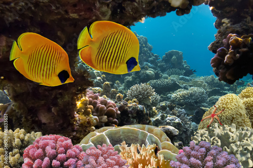 Poster Sous-marin Masked Butterfly Fish