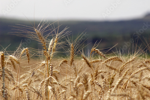 Wheat field against a blue sky .