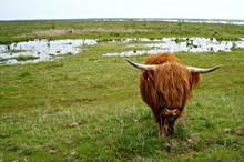 Schotse Hooglanders In De Natuur