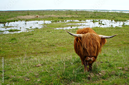 Canvas Prints Buffalo Schotse Hooglanders in de natuur