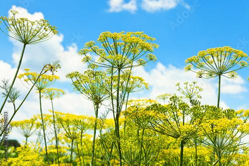 Fényképezés bottom view of blooming dill herbs in garden