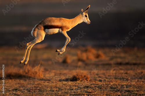 Poster Antilope Springbok antelope jumping