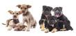 set of puppies