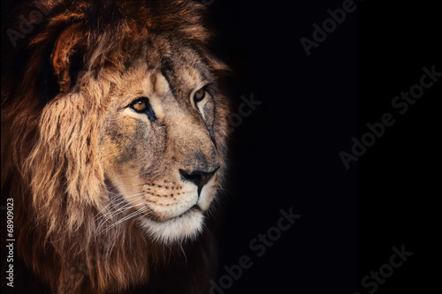 Fototapety, obrazy: Beautiful lion on a black background.