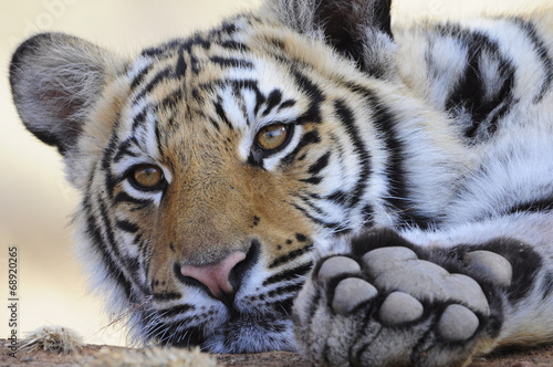 Papiers peints Tigre Closeup Portrait shot of a Bengal Tiger