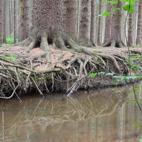 Wald - Baumwurzel am Wasser mit Pilz © alisseja