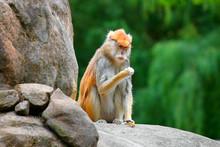 Patas Monkey Erythrocebus Pata...