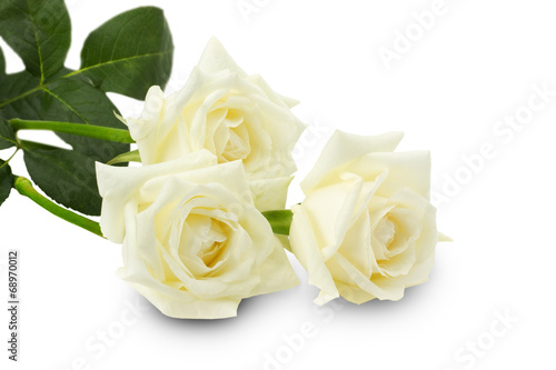 white roses isolated on the white background #68970012