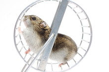 Hamster In A Wheel On A White