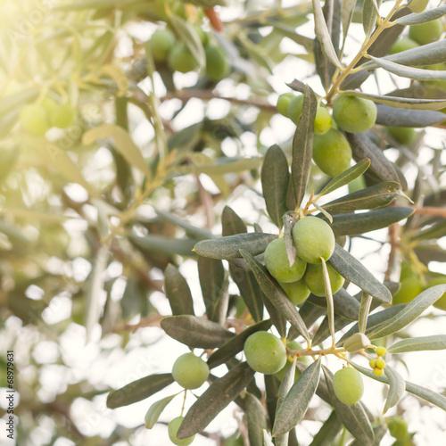 Wall Murals Olive tree brunch