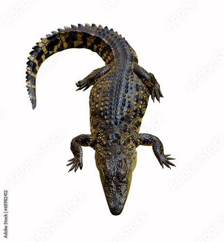 Poster Crocodile crocodile isolated on white background