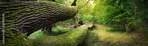 Photo sur Aluminium Foret Panoramic image of fallen tree in the forest