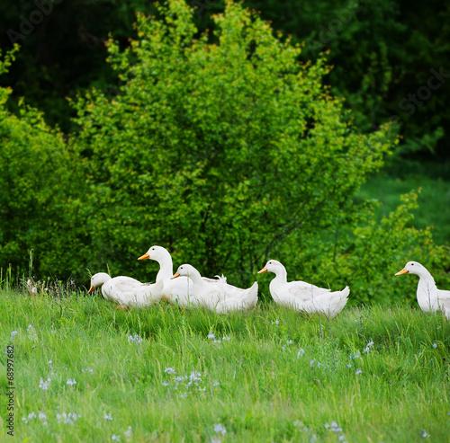 Photo  domestic ducks