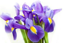 Violet Yellow Iris Blueflag Fl...