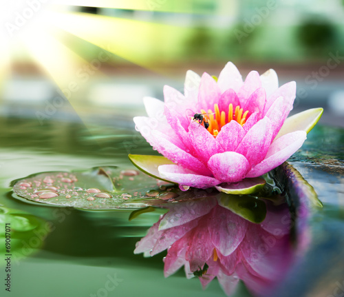 Poster de jardin Nénuphars A beautiful pink waterlily or lotus flower in pond with bee