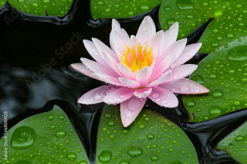 Keuken foto achterwand Lotusbloem Pink Lotus