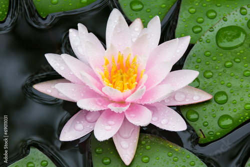 Foto op Canvas Lotusbloem Pink Lotus
