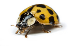 Ladybird Or Ladybug On White Background