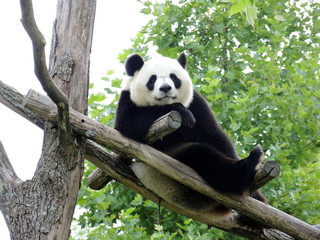 Fototapeta Panda Panda Géant 2