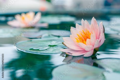 Canvas Print A beautiful pink waterlily or lotus flower in pond