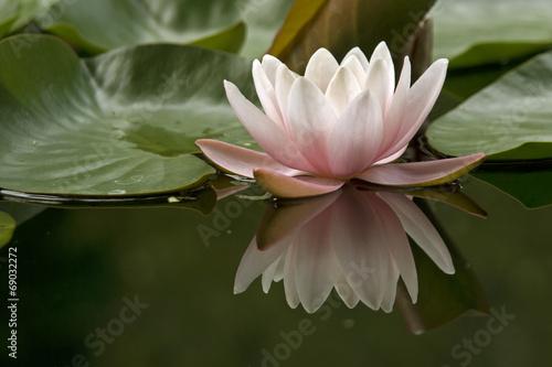 Obrazy lilia wodna  grzybien