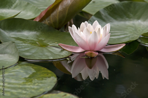 Obrazy lilia wodna  lilia