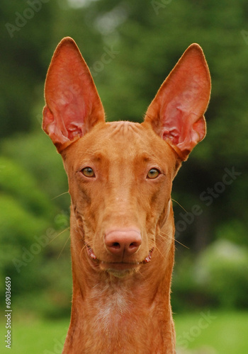 Portrait of pharaoh hound Canvas Print