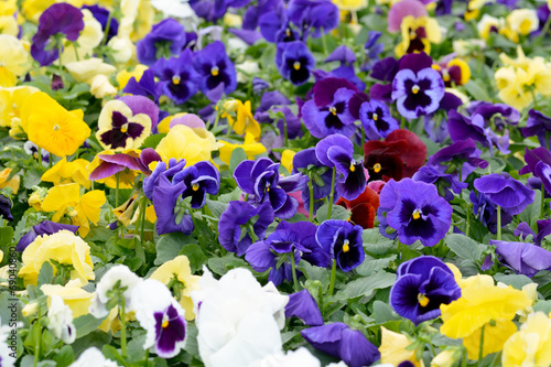 In de dag Pansies Pansies
