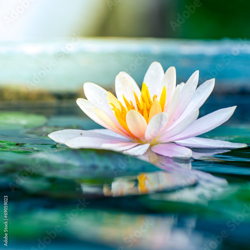 Poster de jardin Nénuphars beautiful pink waterlily or lotus flower in a pond