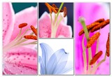Lily flowers collage