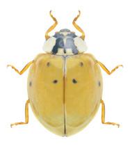 Beetle Ladybird Harmonia Axyri...