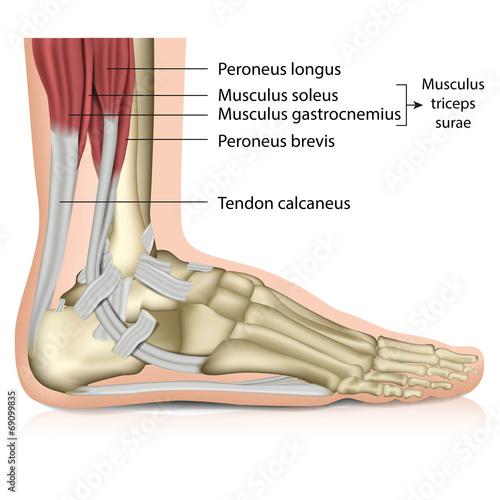 Anatomie Fuß - Muskeln, Perenoal anatomy – kaufen Sie diese ...