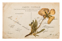 Antique French Handwritten Postcard With Dry Pansy Flower