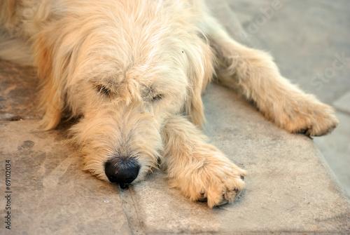 Aluminium Prints Dog Gele straathond ligt op de stoep