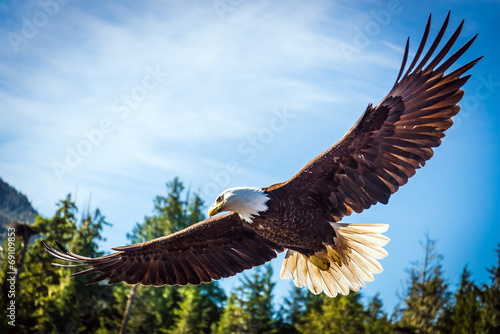Fototapeta  North American Bald Eagle in mid flight, on the hunt